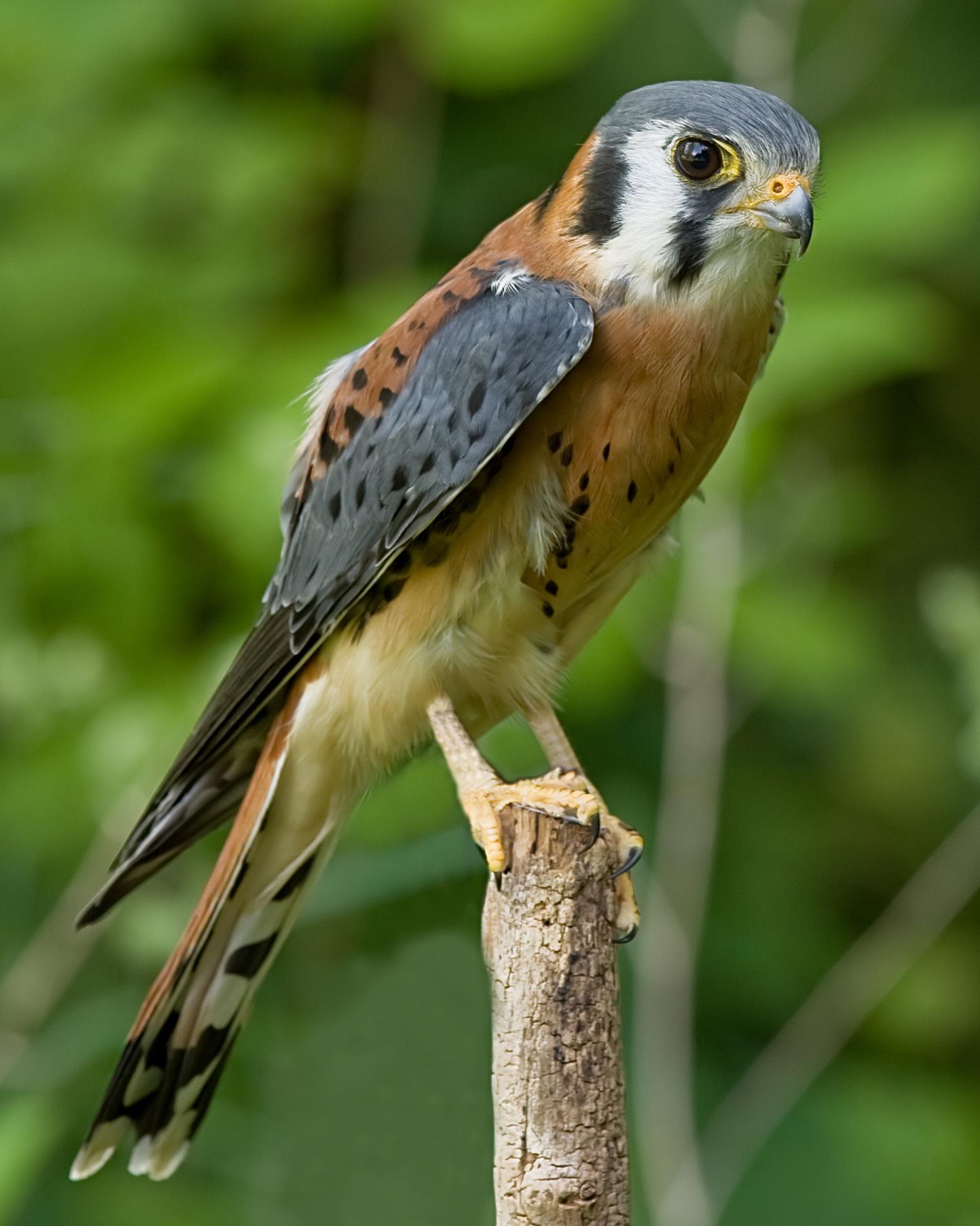 Cắt Mỹ - Falco sparverius