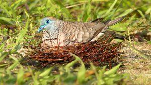 Cu Vằn | Loài Chim Nhỏ Kiếm Ăn Trên Mặt Đất