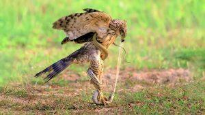 Top 5 Loài Chim Săn Khắc Tinh Loài Rắn – Chim Ăn Rắn