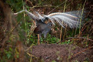 Chim Lia Lớn & Khả Năng Bắt Chước Âm Thanh Tuyệt Vời