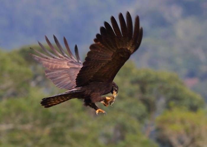 Đại bàng Mã Lai và con mồi