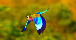 Sả Ngực Hoa Cà | Loài Chim Đầy Màu Sắc