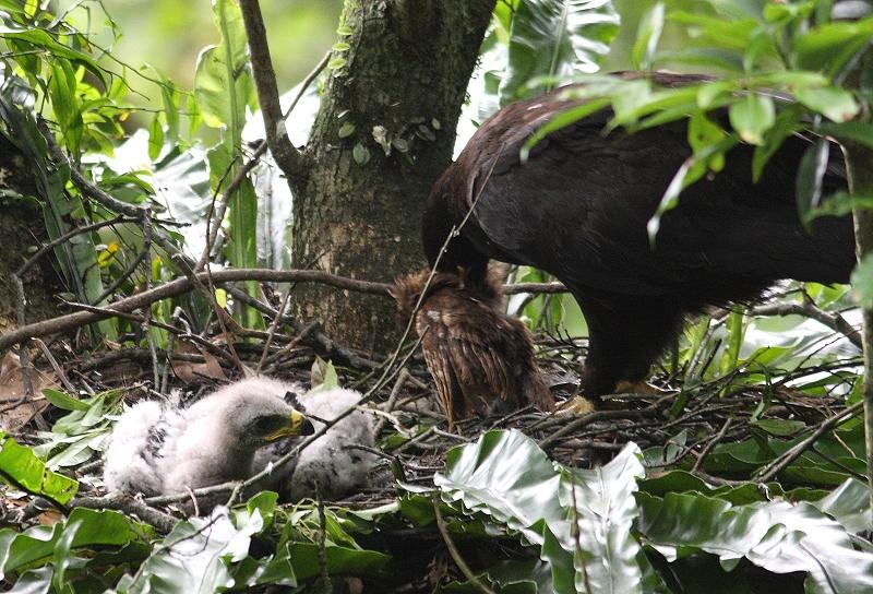 Tổ và chim non đại bàng Mã Lai